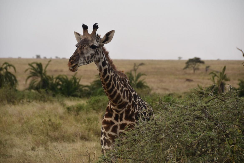 giraffe2-2.jpg