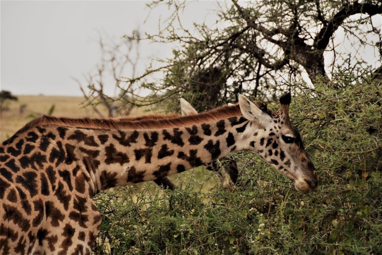 giraffe1-2.jpg