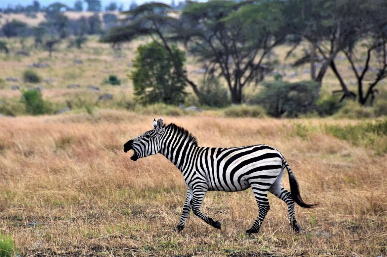 zebra1-1.jpg